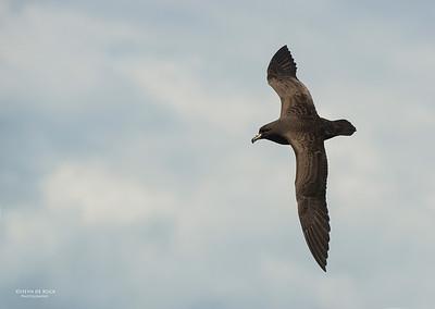 Black Petrel, Wollongong Pelagic, Nov 2013-1