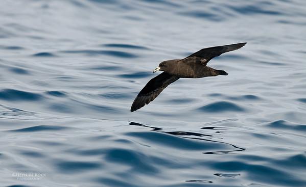Black Petrel, Wollongong Pelagic, NSW, Oct 2009-1