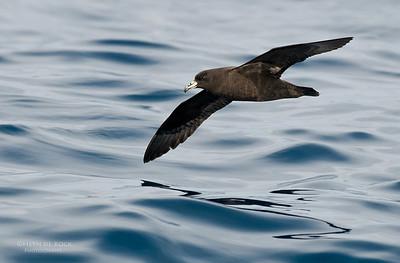 Black Petrel, Wollongong Pelagic, NSW, Oct 2009