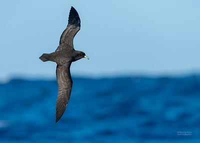 Black Petrel, SE QLD Seamounts, Oct 2020-2