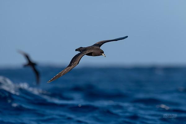 Black Petrel, SE QLD Seamounts, Oct 2020-9