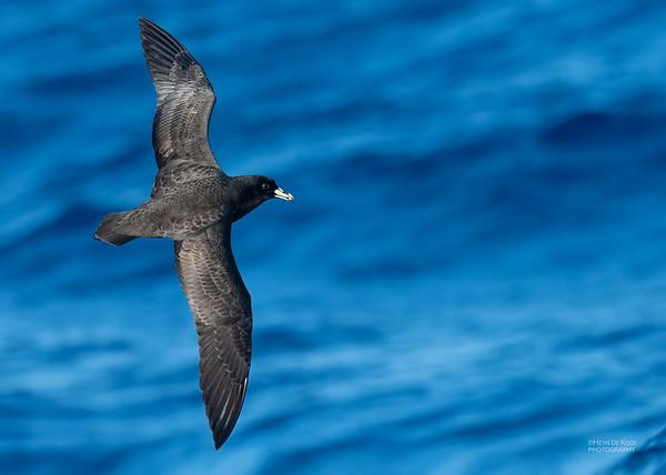 Black Petrel, SE QLD Seamounts, Oct 2020-7