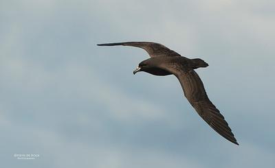 Black Petrel, Wollongong Pelagic, Nov 2013-2