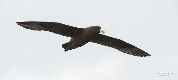 Black Petrel, Wollongong Pelagic, Nov 2013-4