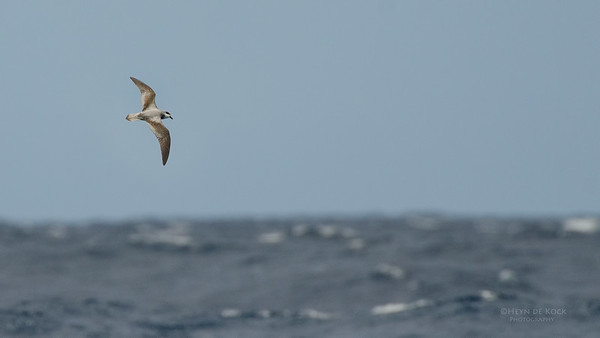 Black-winged Petrel, Southport Pelagic, Qld, Aus, Dec 2011-1