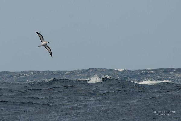 Black-winged Petrel, Southport Pelagic, Qld, Aus, Dec 2011-2