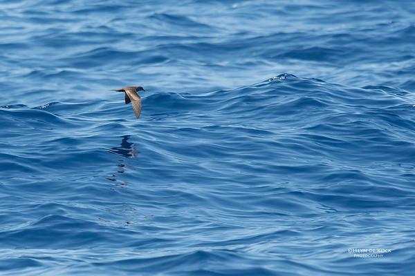 Bulwer's Petrel, Southport Pelagic, Australia, Dec 2017-2