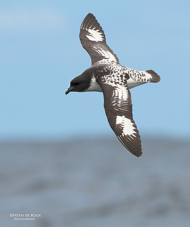 Cape Petrel, Wollongong Pelagic, NSW, Aus, Oct 2012