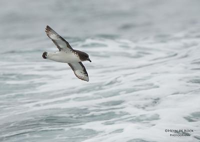 Cape Petrel, Stewart Island Pelagic, SI, NZ, Jan 2013