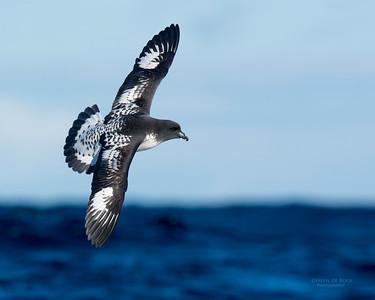 Cape Petrel, Eaglehawk Neck Pelagic, TAS, May 2016-1