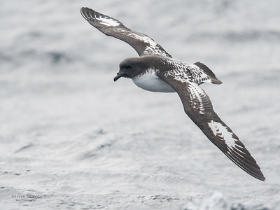 Cape Petrel, Eaglehawk Neck Pelagic, TAS, Sept 2016-3