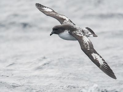 Cape Petrel, Eaglehawk Neck Pelagic, TAS, Sept 2016-3