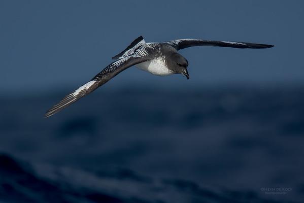 Cape Petrel, Eaglehawk Neck Pelagic, TAS, July 2015-1