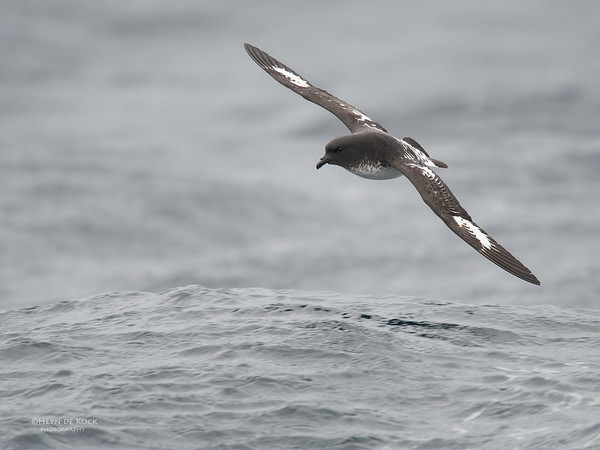 Cape Petrel, Eaglehawk Neck Pelagic, TAS, Sept 2016-1
