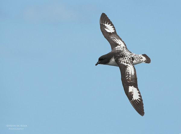 Cape Petrel, Wollongong Pelagic, NSW, Aus, Oct 2012-1