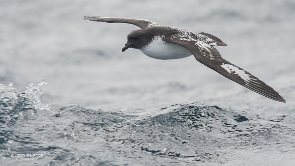 Cape Petrel, Eaglehawk Neck Pelagic, TAS, Sept 2016-2
