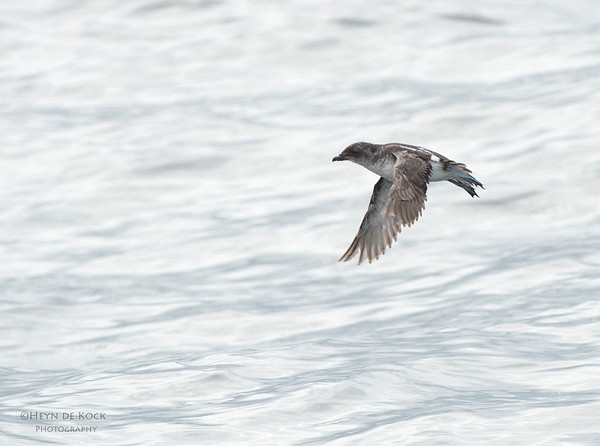Common Diving-petrel, Stewart Island Pelagic, SI, NZ, Jan 2013
