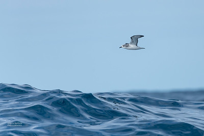 Cook's Petrel, Southport Pelagic, QLD, Sept 2020-6