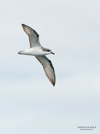 Cook's Petrel, Stewart Island Pelagic, SI, NZ, Jan 2013