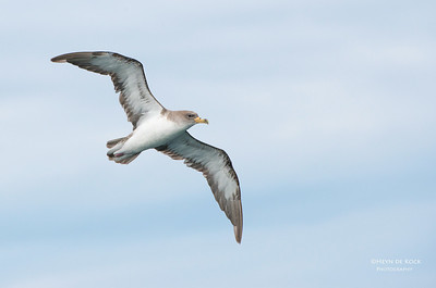 Cory's Shearwater, Cape Town Pelagic, WC, SA, Jan 2014-3