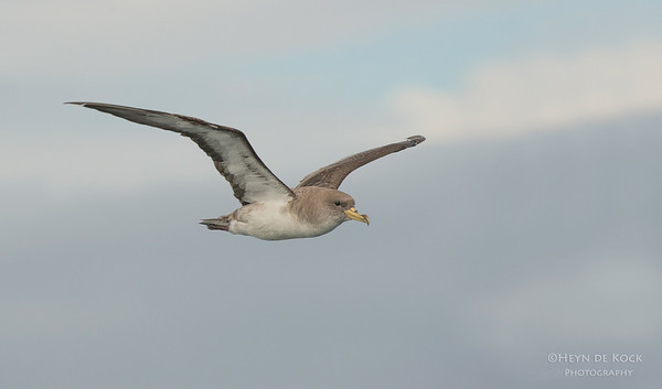 Cory's Shearwater, Cape Town Pelagic, WC, SA, Jan 2014-2