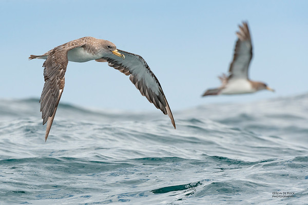Cory's Shearwater, Cape Town Pelagic, WC, SA, Jan 2014-8