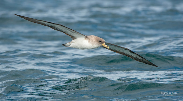 Cory's Shearwater, Cape Town Pelagic, WC, SA, Jan 2014-1