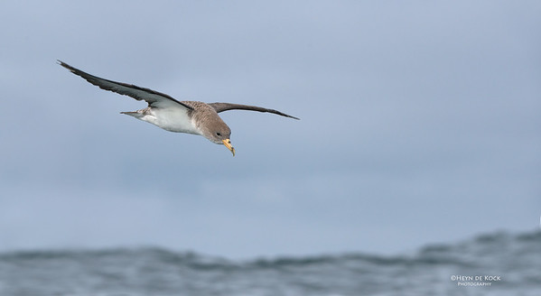Cory's Shearwater, Cape Town Pelagic, WC, SA, Jan 2014-4