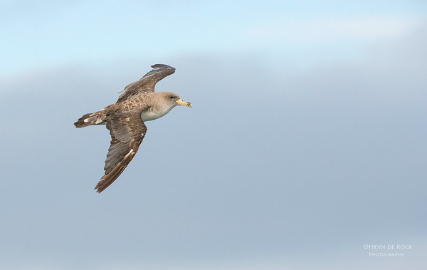 Cory's Shearwater, Cape Town Pelagic, WC, SA, Jan 2014