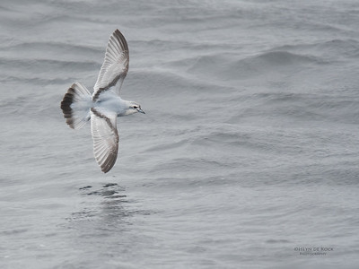 Fairy Prion, Eaglehawk Neck Pelagic, TAS, Sept 2016-1