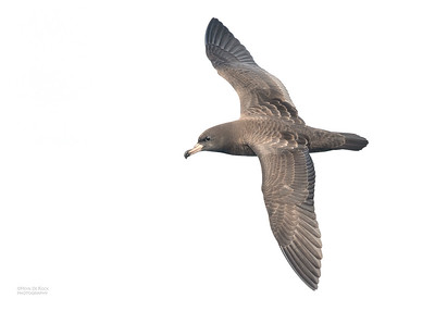 Flesh-footed Shearwater, Southport Pelagic, QLD, Sept 2020-1