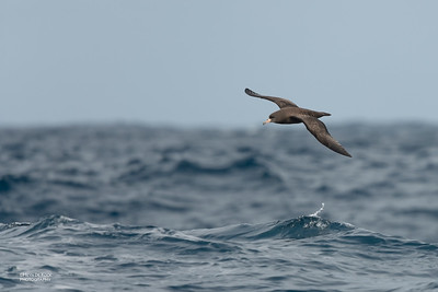 Flesh-footed Shearwater, Southport Pelagic, QLD, Sept 2020-3