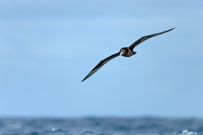 Flesh-footed Shearwater, Southport Pelagic, QLD, Sept 2020-2