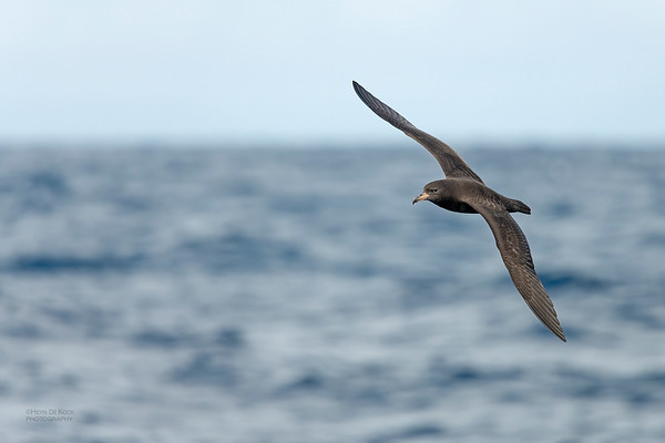 Flesh-footed Shearwater, Southport Pelagic, QLD, Sept 2020-4