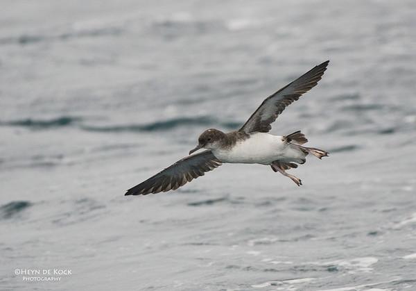 Fluttering Shearwater, Wollongong Pelagic, NSW, Aus, Jun 2012