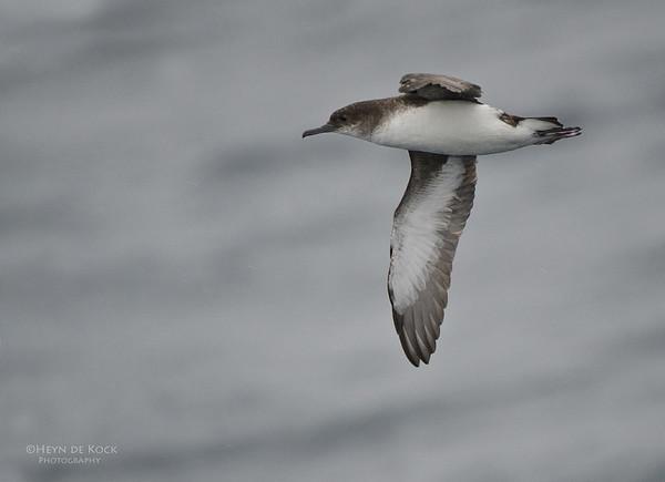 Fluttering Shearwater, Wollongong Pelagic, NSW, Aus, Jun 2012-1
