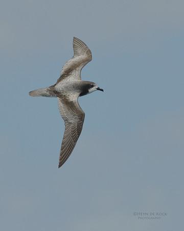 Gould's Petrel, Southport Pelagic, Qld, Aus, Dec 2011