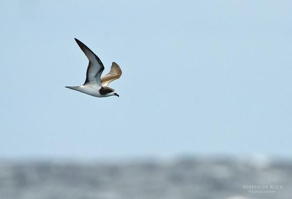 Gould's Petrel, Southport Pelagic, Qld, Aus, Dec 2011-1