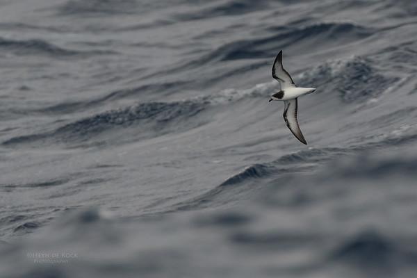 Gould's Petrel, Southport Pelagic, Qld, Aus, Dec 2011-2