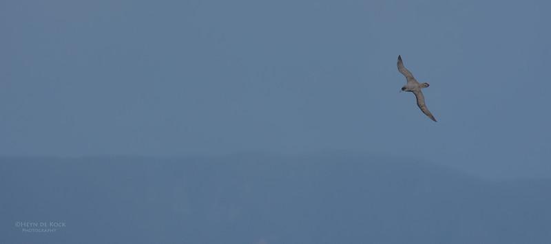 Grey Petrel, Eaglehawk Neck Pelagic, TAS, July 2015-5