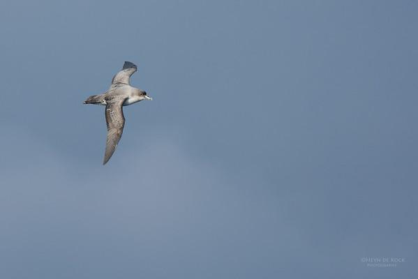 Grey Petrel, Eaglehawk Neck Pelagic, TAS, July 2015-4