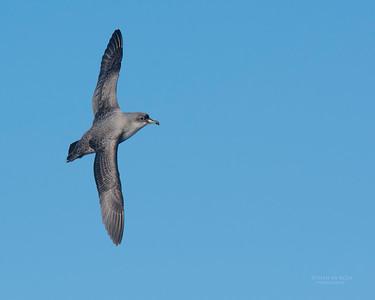 Grey Petrel, Eaglehawk Neck Pelagic, TAS, May 2016-5