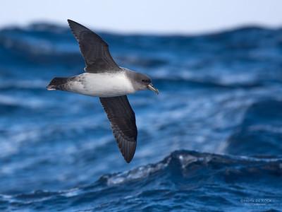 Grey Petrel, Eaglehawk Neck Pelagic, TAS, July 2015-6