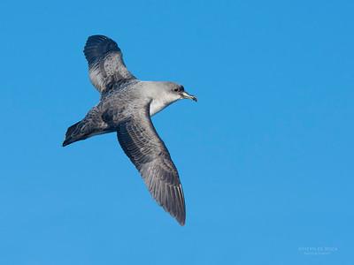 Grey Petrel, Eaglehawk Neck Pelagic, TAS, May 2016-3