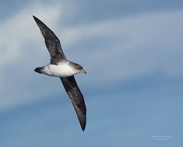 Grey Petrel, Eaglehawk Neck Pelagic, TAS, May 2016-1