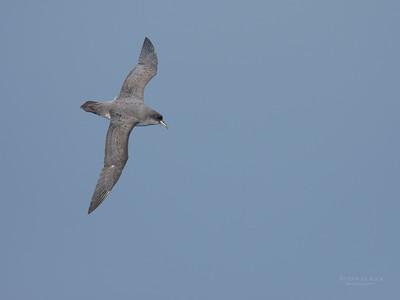 Grey Petrel, Eaglehawk Neck Pelagic, TAS, July 2015-1