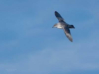 Grey Petrel, Eaglehawk Neck Pelagic, TAS, May 2016-4