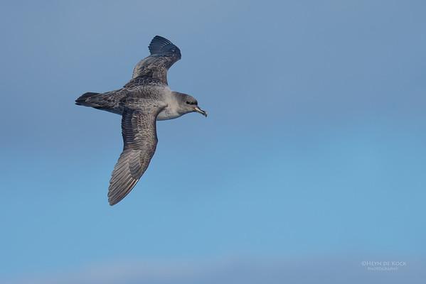 Grey Petrel, Eaglehawk Neck Pelagic, TAS, July 2015