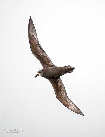 Grey-faced Petrel, Wollongong Pelagic, NSW, Aus, Aug 2014-1