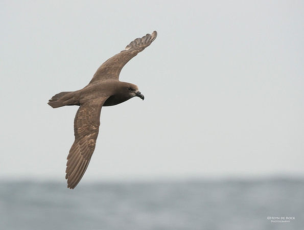 Grey-faced  Petrel, Wollongong Pelagic, Nov 2013-3